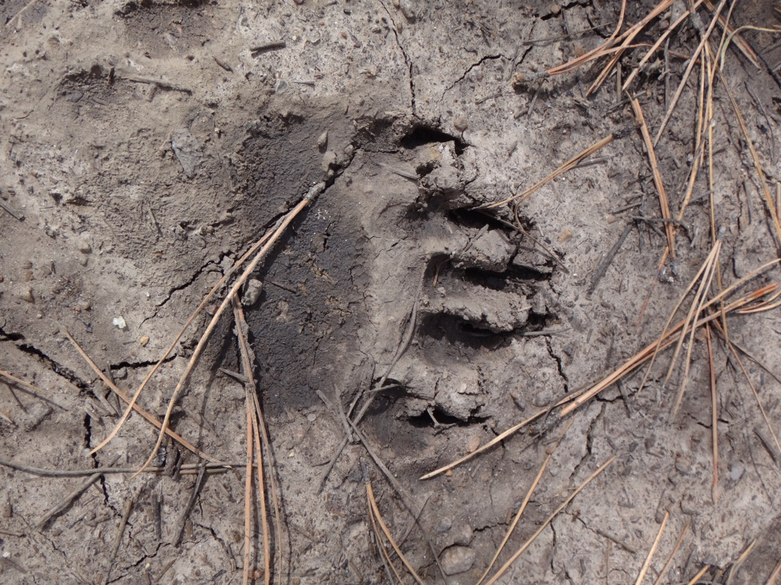 bear track in myd